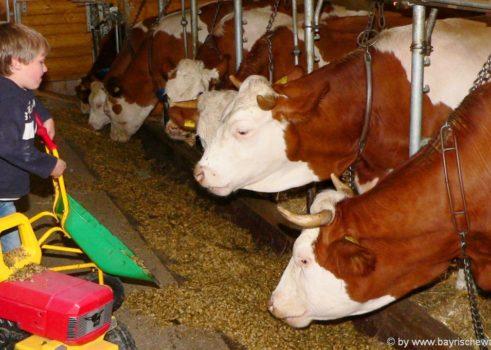 Bauernhofurlaub mit Kühen auf der Weide