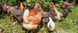 bayerischer-wald-bauernhofurlaub-tiere-füttern-hühner